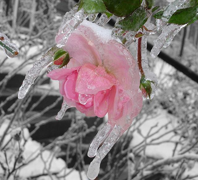 icedflower