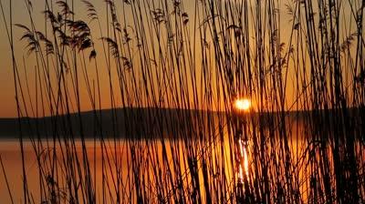 reedswaying